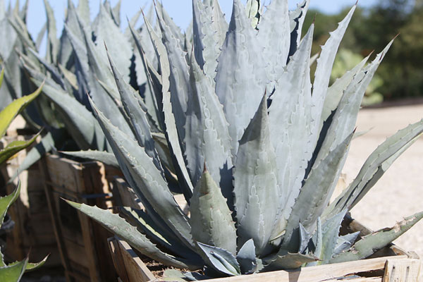 SWN-agave