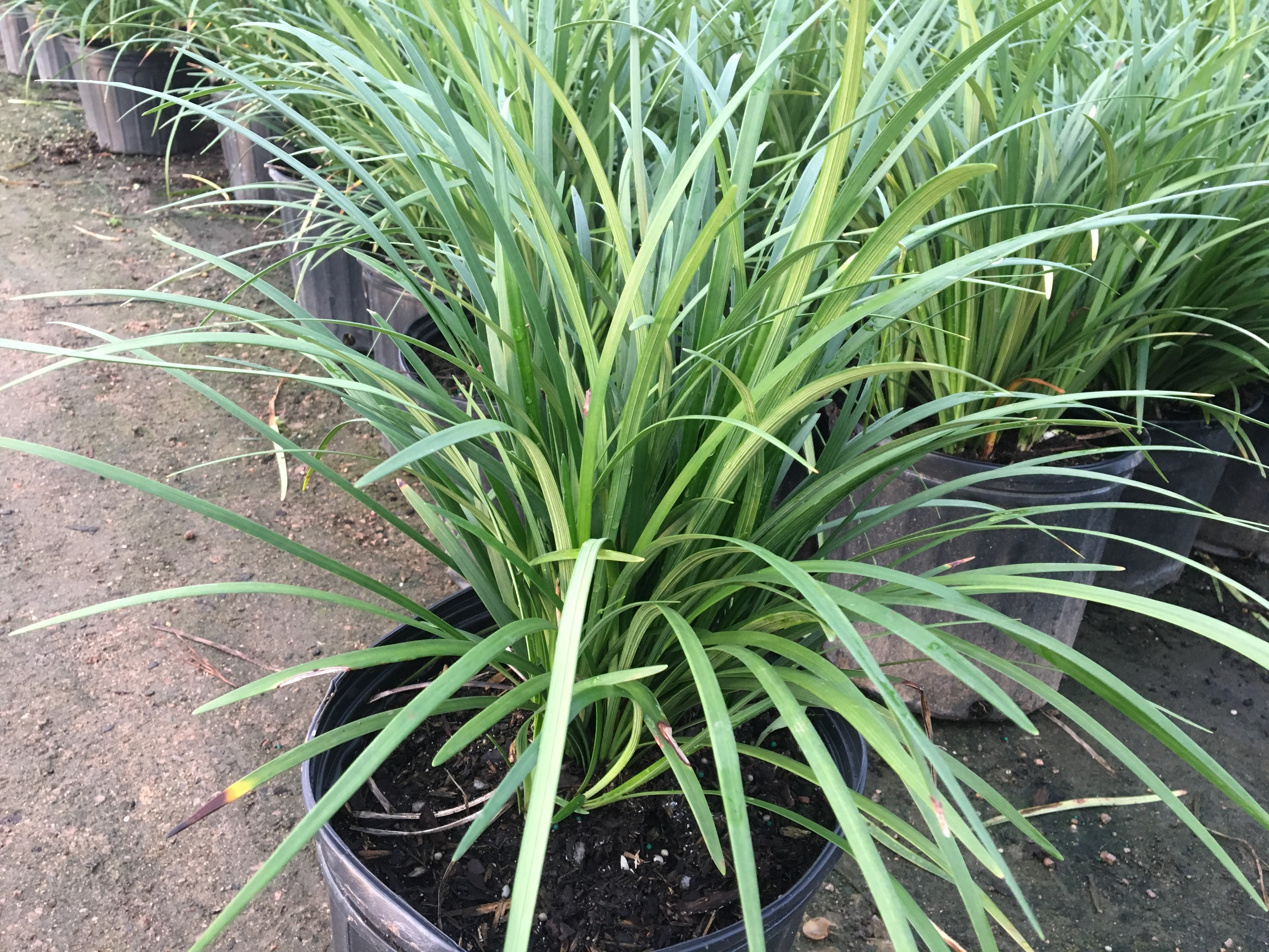 Giant Liriope Southwest Nursery Wholesale Landscaping Supplies
