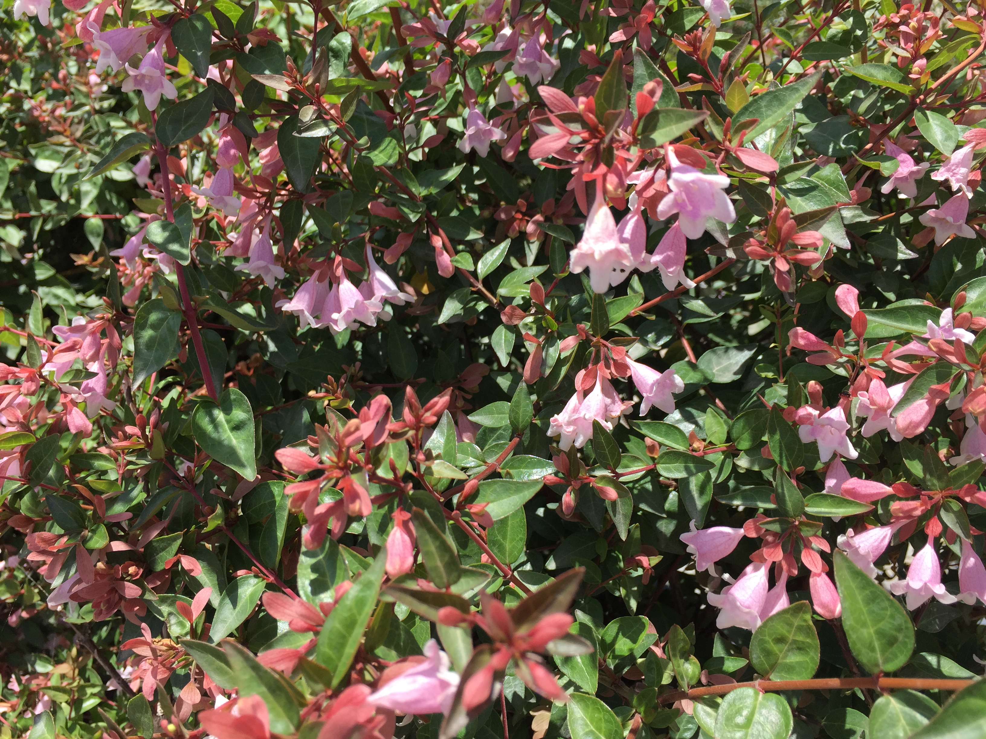 Edward Goucher Abelia Southwest Nursery Wholesale Landscaping