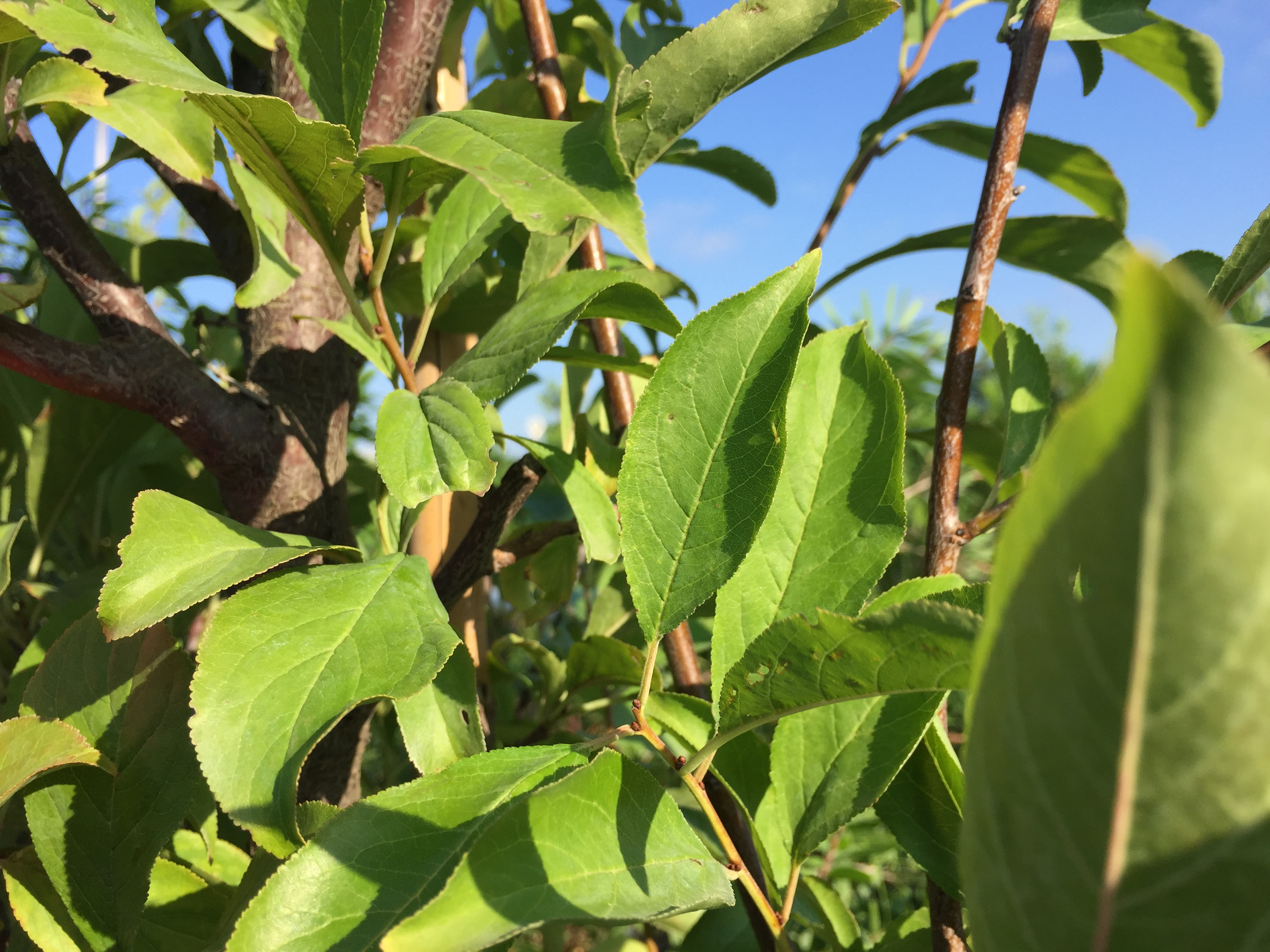 Plum Tree Southwest Nursery Wholesale Landscaping
